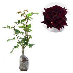 Black Rose Rp 45,000