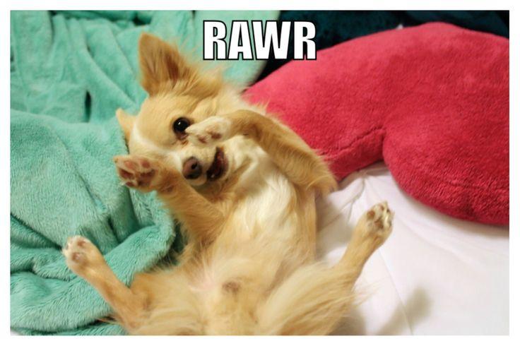 Funny Puppy Memes: Jaxon The Chihuahua