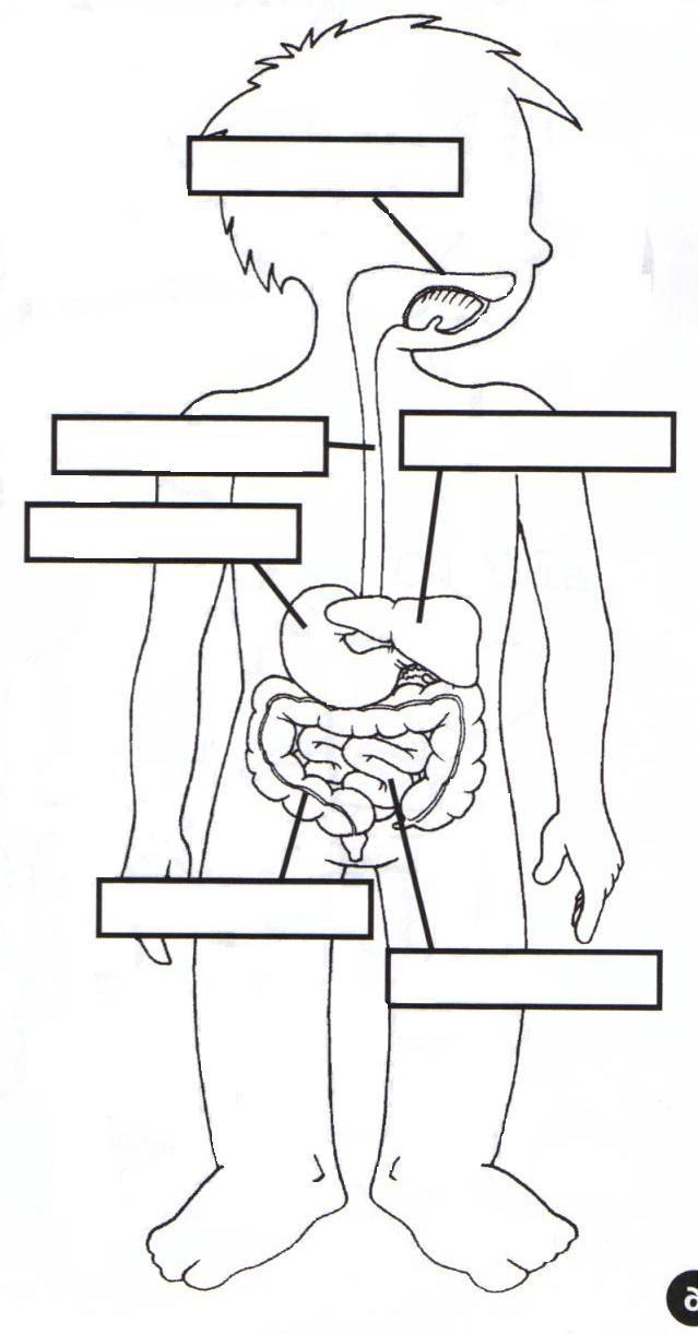 Moderno órganos Del Diagrama De Cuerpo Humano Para Los Niños Ideas ...