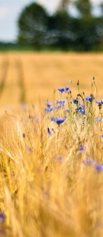 Blue flowers in wheat fields during summer. #Field #Flowers #Trees #Blurring #Ears #Blue cornflowers. http://www.mindblowingpicture.com/wallpaper/nature/wp435qwx.html