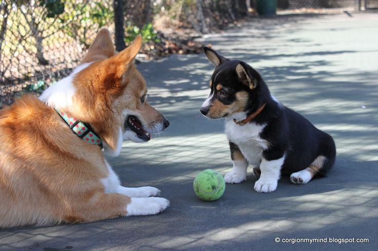 I'll teach you how to play!: Plays Corgi, Animals Corgi, Corgis Jpg, Corgi Jpg Image, Baby Corgi, Corgisjpg Image, Plays Ball, Corgi Rules, Animal Sweet