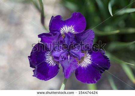 Iris Flower Photos et images de stock | Shutterstock