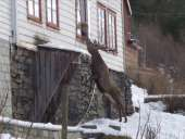 Wild Deer Climbs To Elderly Woman's Window Twice a Day For a Snack - CBS Interactive Inc.