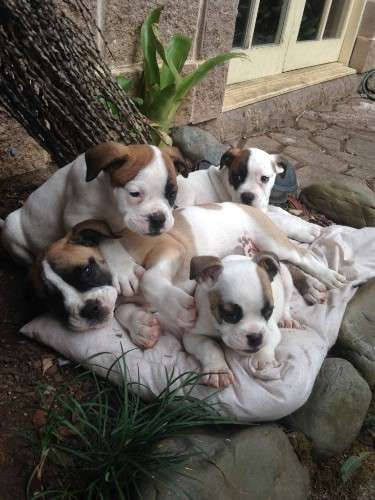 BE QUICK! MALES ONLY LEFT.     ALL FEMALES ALREADY SOLD.           10 weeks old, ready to go now. Born 4/2/2016. All are microchipped, vaccinated, wormed, vet checked.     Buddy - 4.3kg, shy and gentle  Dozer - 4.5kg, alpha, boisterous, cheeky  Sarg - 4.2kg, loves people, loyal  Zippy - the runt, only 2kg, happy and hyper!    Their father is40+kg, gentle and mellow, he just wants to play ball all day - https://www.pups4sale.com.au/dog-breed/665/Australian-Bulldog.html
