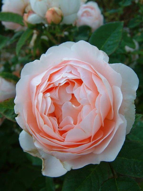 Ambridge Rose (Auswonder) - rosas velhas do jardim
