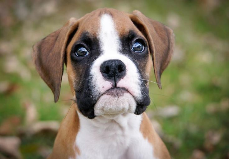 Boxer Puppies For Sale - AKC PuppyFinder