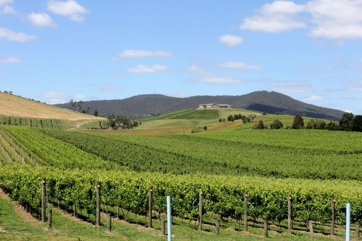 Lovely shot of the vineyard at Soumah Wines, Yarra Valley.