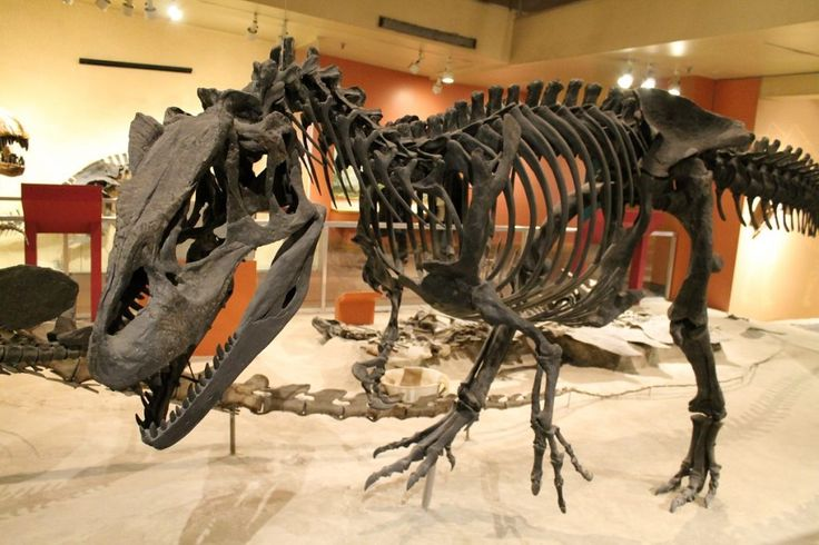 The abundance of allosaur fossils in the Cleveland-Lloyd Dinosaur Quarry has puzzled palaeontologists for decades,