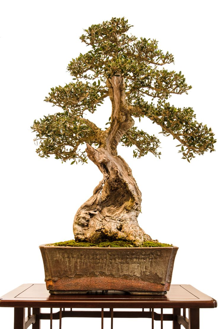 1000 images about bonsai on pinterest maple bonsai. Black Bedroom Furniture Sets. Home Design Ideas