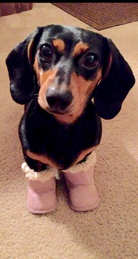 456 Best Images About Dachshunds Baby Seals Baby