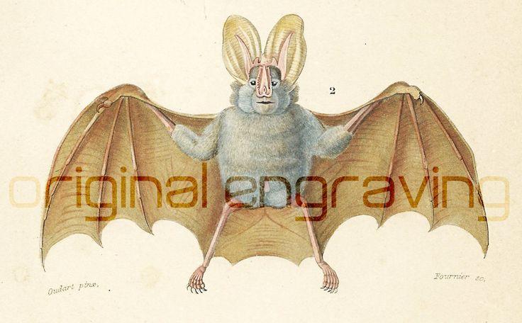 1861, 2 Chauve-souris gravure ancienne Orbigny Original Qualité Exceptionnelle Hist. Naturelle Lithographie peinte à la main Roussette de la boutique sofrenchvintage sur Etsy