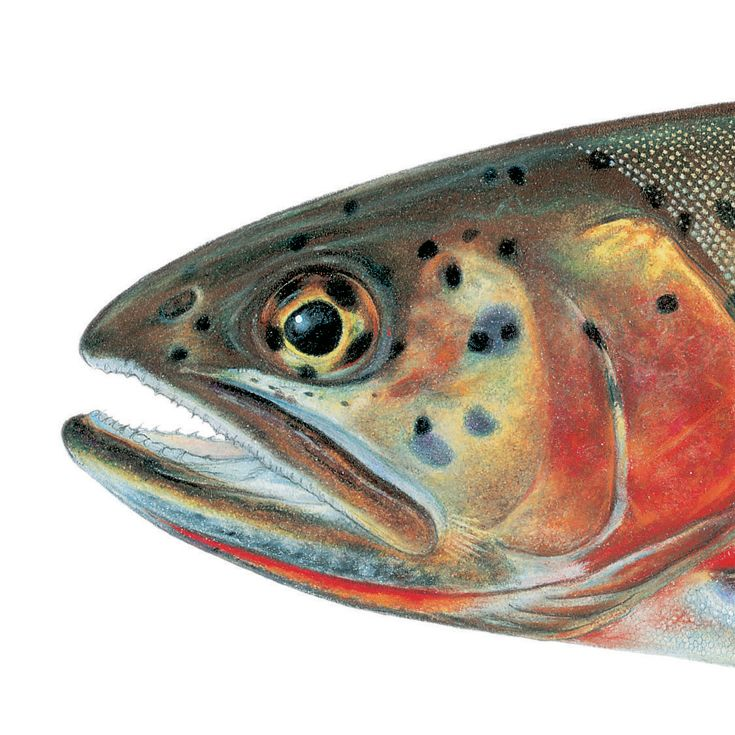 Best 50+ Trout images on Pinterest | Fishing, Trout and Pisces