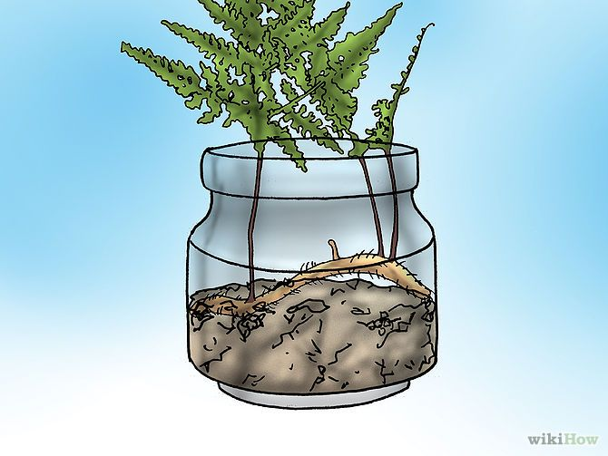 How to care for a Rabbit Foot fern.
