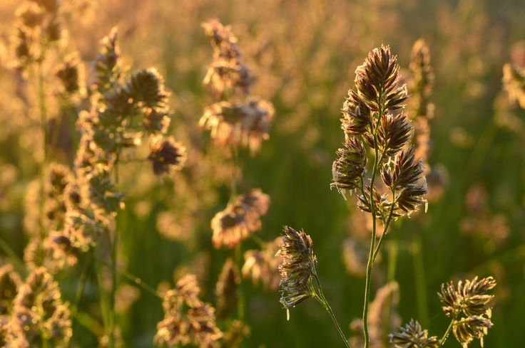 Grass at dawn in the field in the light of sunlight