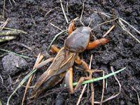 Veenmol. Planten van peen (wortels) lokt veenmollen, omdat zij hieronder graag een nest bouwen. Daar waar de nesten zich bevinden kleurt het loof geel. De veenmol houdt net als de meeste tuinders van 'zwarte grond'; de plek wordt door de veenmol kaal gewied doordat het de stengel of wortels doorknaagt Breng tegen de winter hoopjes broeimest of compost aan; hieronder overwinteren de veenmollen in de grond Breng een tijdelijke beschoeiing van planken aan rond plantbedden: minimaal 20 cm. diep…
