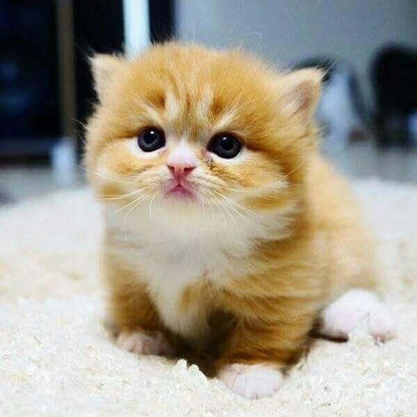 Fluffy Munchkin Cat For Sale