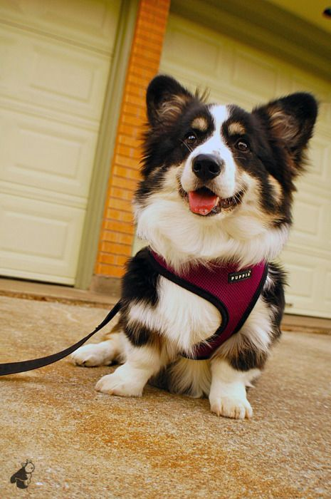 Beautiful Fluffy Tri-color Corgi:  @Karen Baty These fluffies get me! I wanted a sweet girl on Ned's breeders site named Lily last year or the year before! We would drown in corgi fluff!