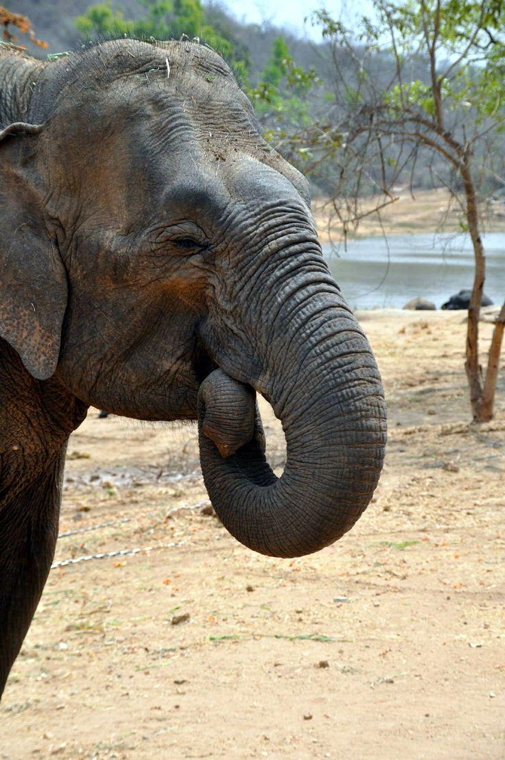 India.  Elefante.