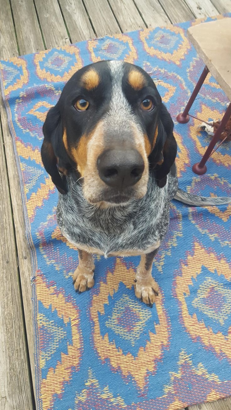 Oh Daisy! Rocko the Bluetick Coonhound. http://ift.tt/2mpzKyn