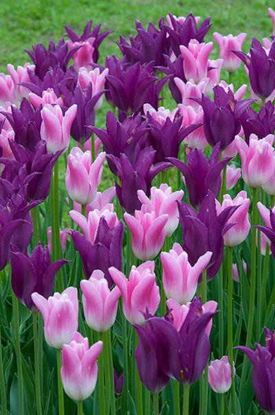Tulip Bulbs | Your Imminence | Tulip Bulbs for Sale |