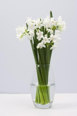 Reusing narcissus bulbs after they have bloomed isn't always foolproof, especially if the bulbs have been forced to bloom early indoors. When bulbs are forced to bloom in shallow containers with ...