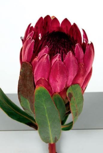 Protea- to add in some earthy-bohemian elements.