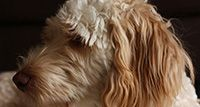 Good Boy Labradoodles is a Cape Town based Labradoodle and Goldendoodle breeder. We believe that doodels are the perfect family dogs and would love to make these dogs more popular in South Africa.