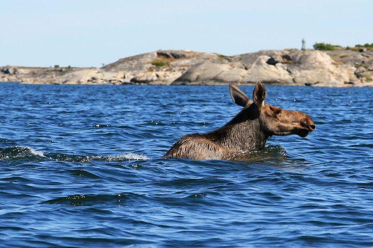 Meeting with elk (moose) Kökar, Åland