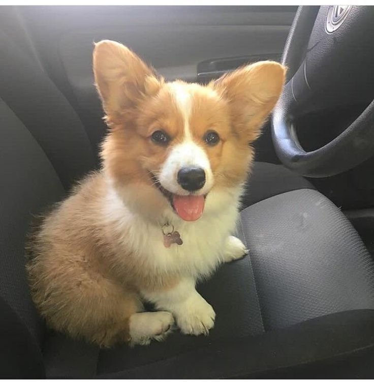 The Queens corgis — Why don't you have a seat? at...