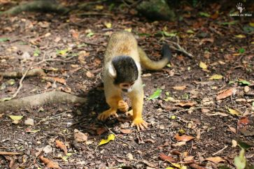 Squirrel monkey Monkeyland