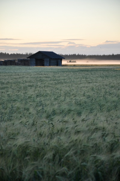 Rye fields on Hailuoto Island, Finland | August, Hailuoto - Finland