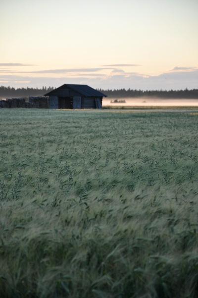 Rye fields on Hailuoto Island, Finland | August, Hailuoto - Finland
