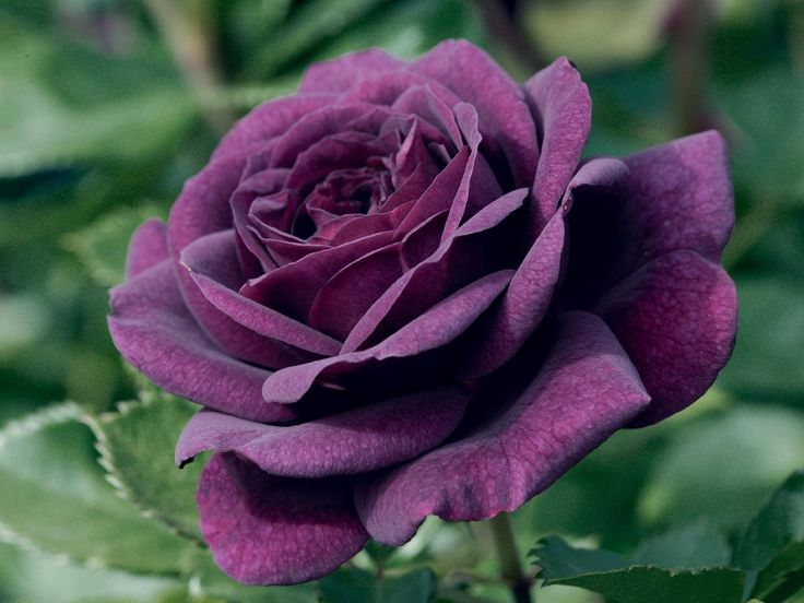 rosas roxas jardim - Pesquisa Google                              …