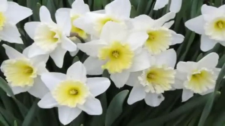 Narcissus - A genus of predominantly spring perennial plants