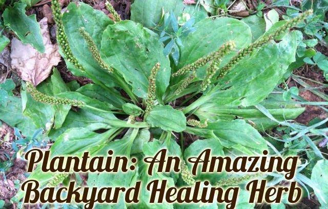 Plantain: A Healing Herb in Your Backyard from WellnessMama.com #herbs #wellness #garden