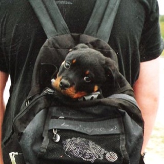 Rott...: Rottweilers, Dogs, Puppy, Baby, Friend, Animal