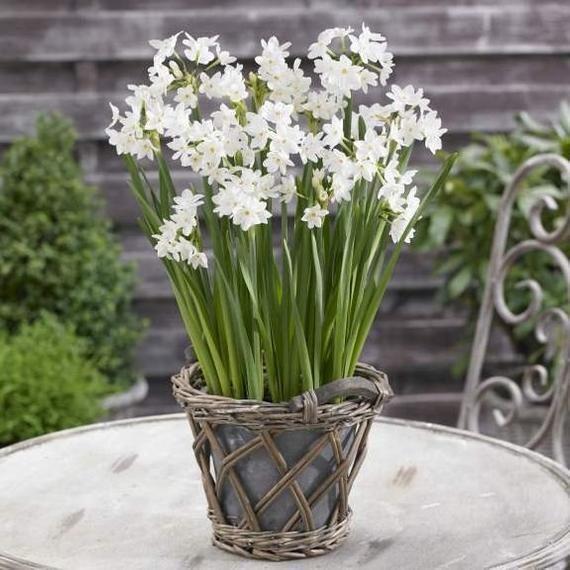 Ziva Paperwhite Flower Bulbs Fragrantsnow White Flowerswell Suited To Forcing Bulb Flowers Winter Garden White Flowers