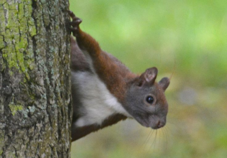 Red squirrel, Tiergarten, Berlin. #Squirrel #RedSquirrel #RødtEgern #Tiergarten #Berlin #EuropeanWildlife #HenryRasmussen