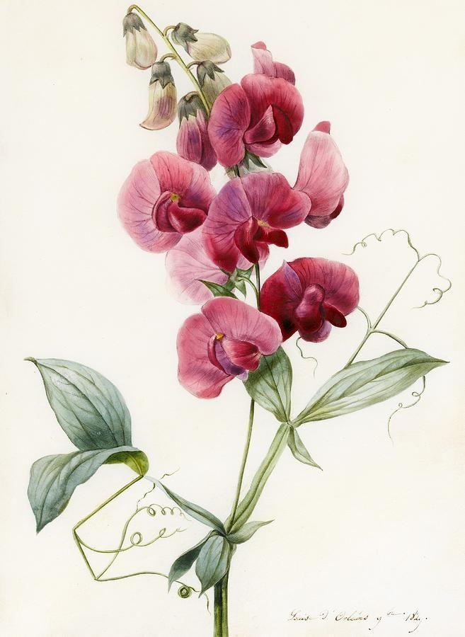 Lathyrus latifolius (Everlasting Pea) (watercolor on paper), D'Orleans, Louise (1812-52)