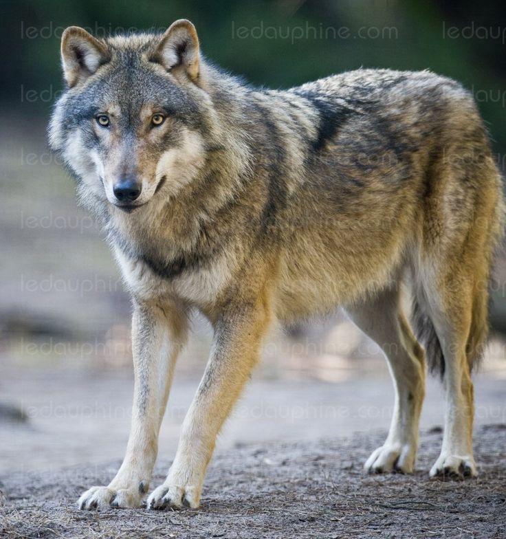 Economie et Finance | «Une aberration de vouloir classer les hybrides au même titre que le loup sauvage»