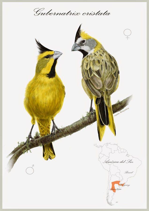 Resultado de imagen para cardenal amarillo ilustracion cientifica