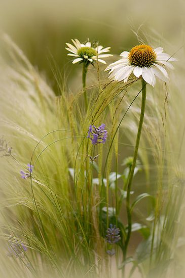 Beautiful photograph!  Focus is NICE! I would not have thought the lighting would work out so well. Looks to me like white echinacea in ornamental grass.