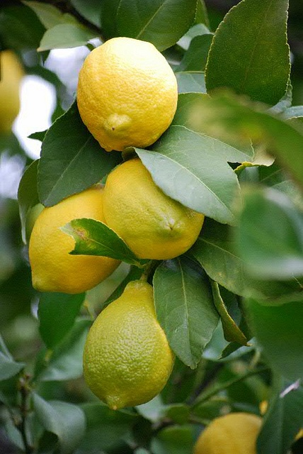 Eureka Lemon closeup by Four Winds Growers, via Flickr