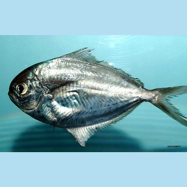 Ever seen a butterfish? It's a pelagic fish--an animal that lives in the open #s...