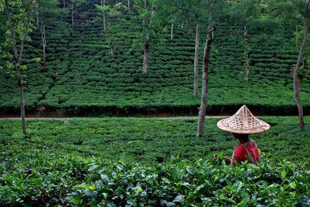Tea leaf plucking  Photo by MD  AKHLAS UDDIN — National Geographic Your Shot