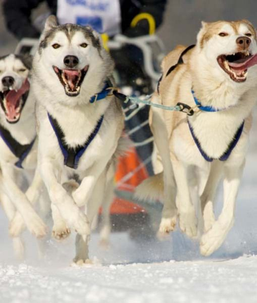 sleddog race in winter on snow
