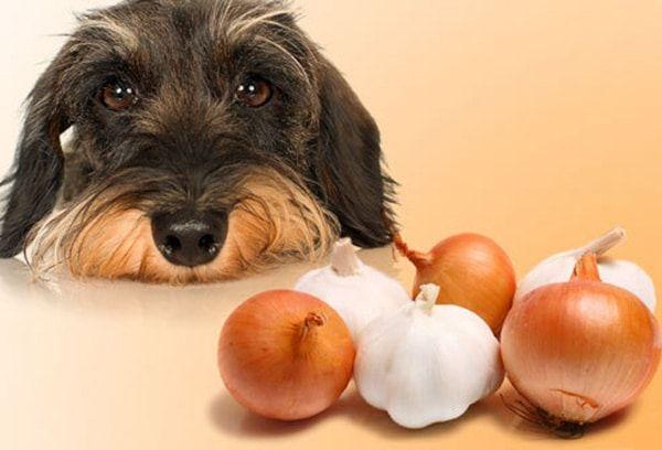 oignons dangereux pour les chiens