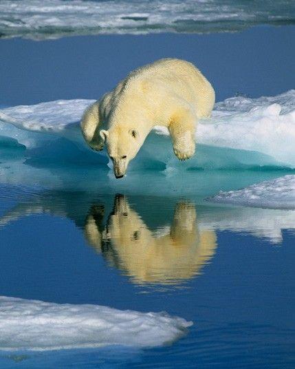 Wild Animal, Amazing Wildlife, Wildlife Pictures, Polar Bears, Mirrors Image, Polar Reflections, Reflections In Water, Bears Reflections, Amazing Animal