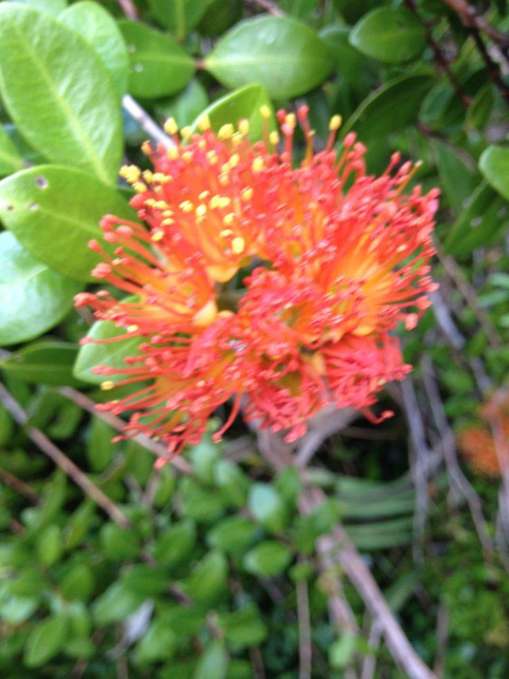 Rata Tree Flower