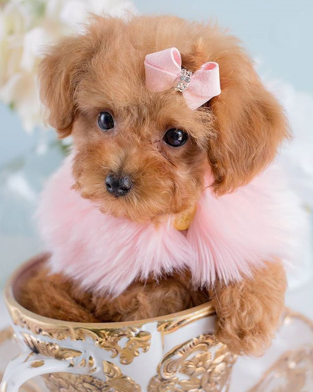 NEW ARRIVAL! This beautiful Toy Poodle puppy is now available in the boutique!   Come visit or CALL 954-985-8848 for more info!  #poodle #toypoodle #puppy #poodlesofinstagram #instapoodle #puppygram #puppylove #dogsofinstagram #puppiesofinstagram #cute #cutenessoverload #bestpuppy #bestpoodle #toypoodlebreeder  #bestpoodlebreeder #miami #teacuppuppies #ftlauderdale #toypoodleforsale #soflo #puppyboutique #palmbeach